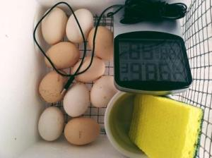 10 Silkie Egglets