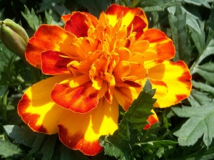 frenchmarigold